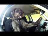 Meet Monty. The World's First Driving Dog.